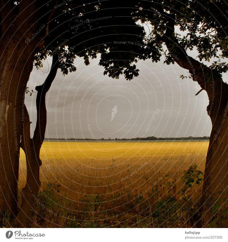 on nature Wirtschaft Umwelt Natur Landschaft Pflanze Himmel Wolken Gewitterwolken Sommer Klima Baum Nutzpflanze Feld gelb gold ruhig Ernährung Getreidefeld