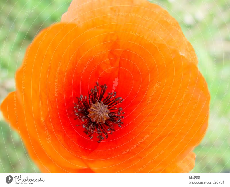 Mohn Natur Blume rot Garten Mohn