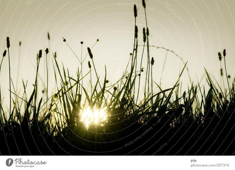 sonnabend Natur Landschaft Pflanze Sonne Frühling Sommer Schönes Wetter Wärme Gras Spitzwegerich Wiese Weide Rasen Halm Stengel Blütenknospen Samen dunkel hell