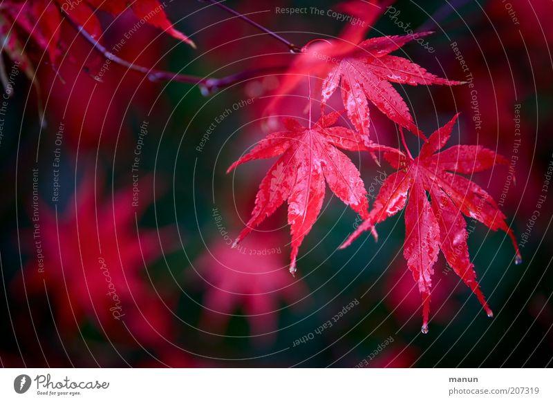 roter ahorn Natur schön rot Blatt Herbst Regen frisch Sträucher Wassertropfen Ast nass Herbstlaub herbstlich Ahornblatt Ahorn Herbstfärbung