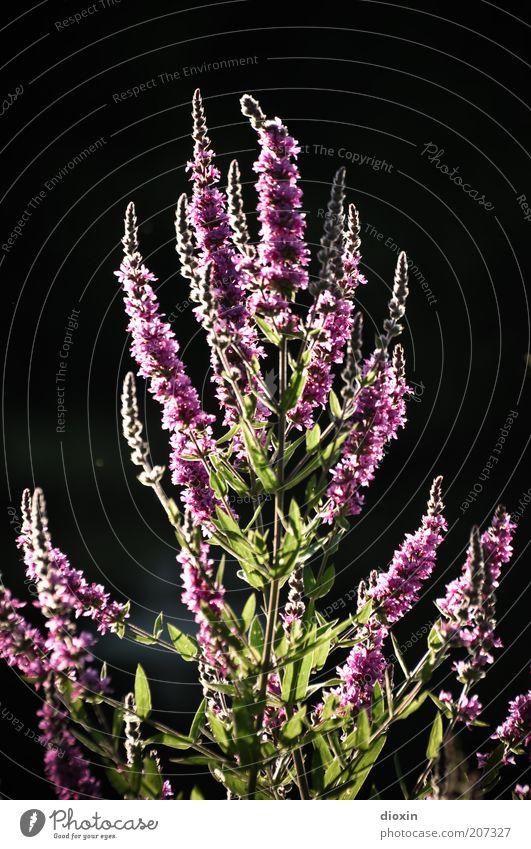 summer flower light (1) Natur Blume grün Pflanze Sommer schwarz Blüte Umwelt Wachstum violett Duft Stauden Wildpflanze