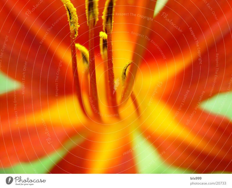 Schönheit für einen Tag Natur Blume gelb Garten braun Lilien Taglilie