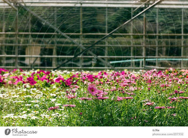 Blumenwiese hinter Glas Frühling Sommer Schönes Wetter Pflanze Sträucher Nutzpflanze Bauwerk Gebäude Architektur Gewächshaus Blühend Duft grün rosa Farbfoto