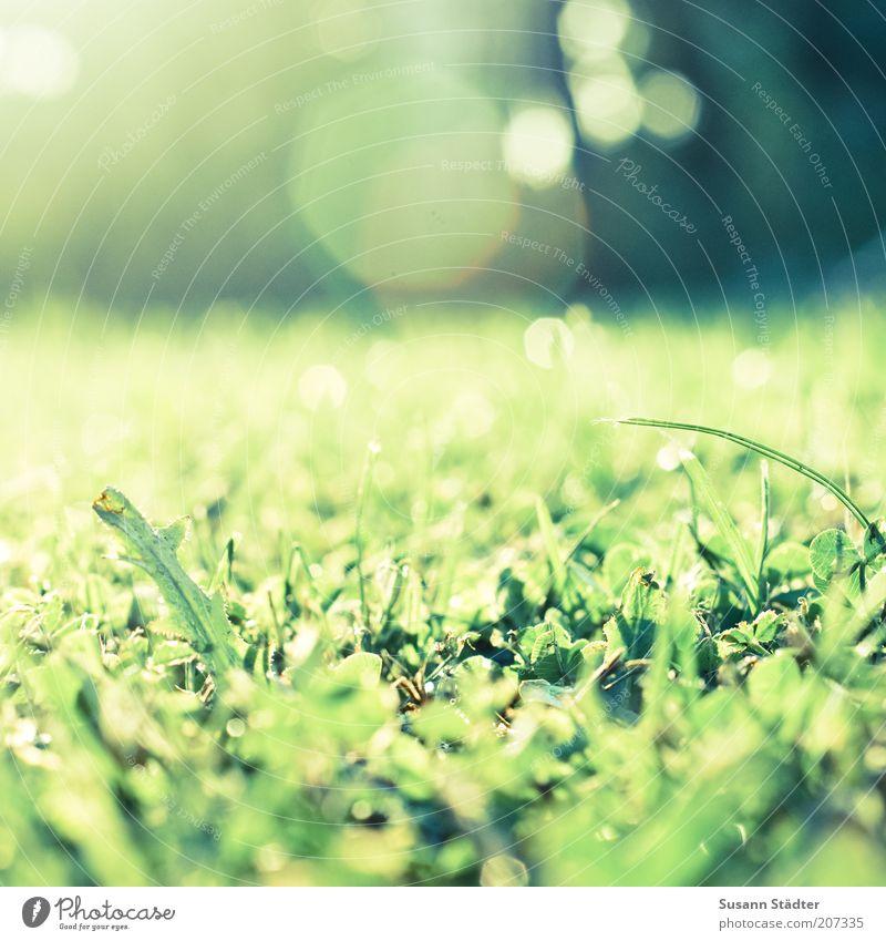 Klee is schee Sonne grün Pflanze Wiese Gras Frühling Wachstum Löwenzahn Halm Schönes Wetter Makroaufnahme Menschenleer Natur Blume Blendenfleck sprießen
