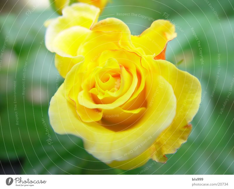 Rose - 2 Natur Blume gelb Garten Rose