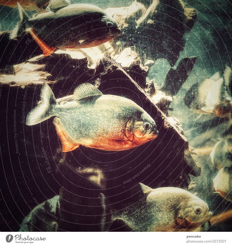 achtung, füsse hoch! schön Wasser Felsen wild Wildtier authentisch gefährlich Geschwindigkeit Tiergruppe Fisch bedrohlich Urelemente gruselig Fressen frech