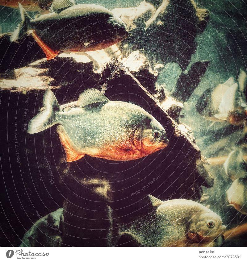 achtung, füsse hoch! Urelemente Wasser Wildtier Fisch Aquarium Tiergruppe authentisch bedrohlich Bekanntheit frech gruselig schön Geschwindigkeit wild Piranha