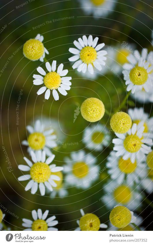 chamomile flowers Umwelt Natur Pflanze Sommer Schönes Wetter authentisch Blüte Kamille Kamillenblüten weiß gelb Geruch Gesundheit Kräuter & Gewürze Wohlgefühl