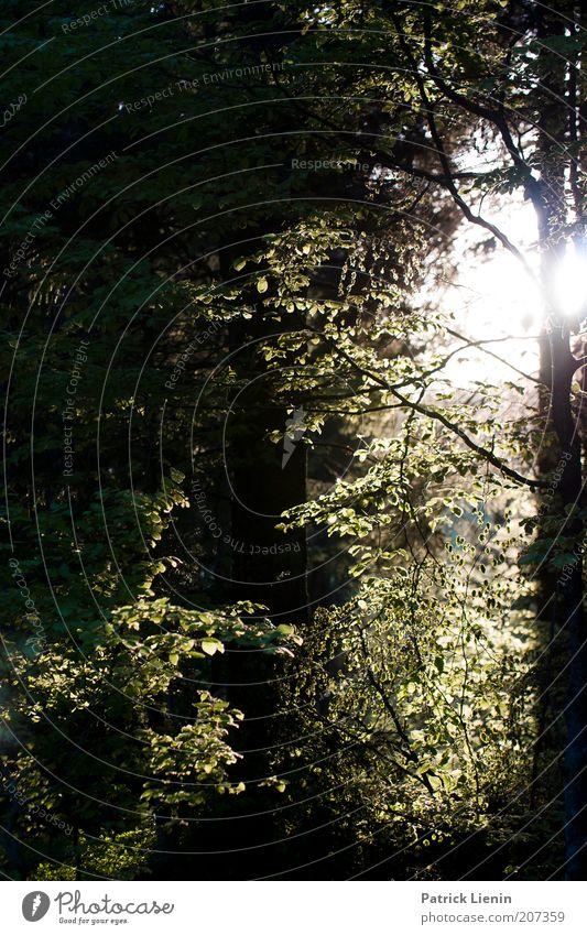 Licht im Walde Natur Baum Sonne grün Pflanze Sommer ruhig Blatt Einsamkeit Wald dunkel Landschaft Luft Zufriedenheit Stimmung Umwelt