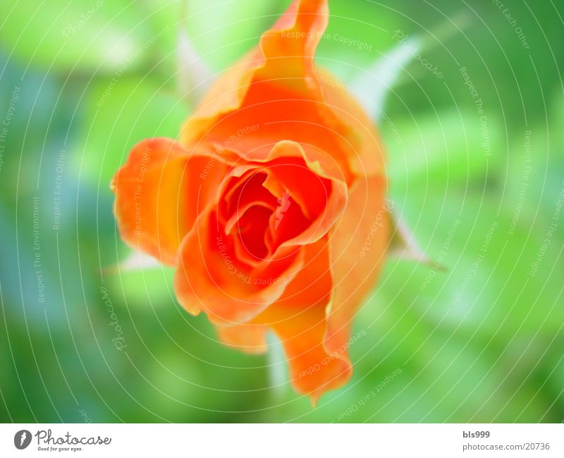 Rosenpracht Natur Blume Pflanze orange Rose