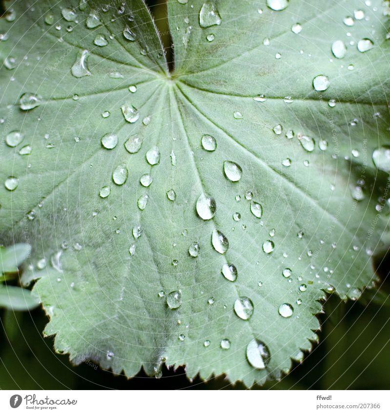 Regenzeit Umwelt Pflanze Wasser Wassertropfen Blatt nass natürlich Reinheit Wachstum Tropfen Tau Farbfoto Außenaufnahme Tag Blattadern Blattgrün Blattfaser