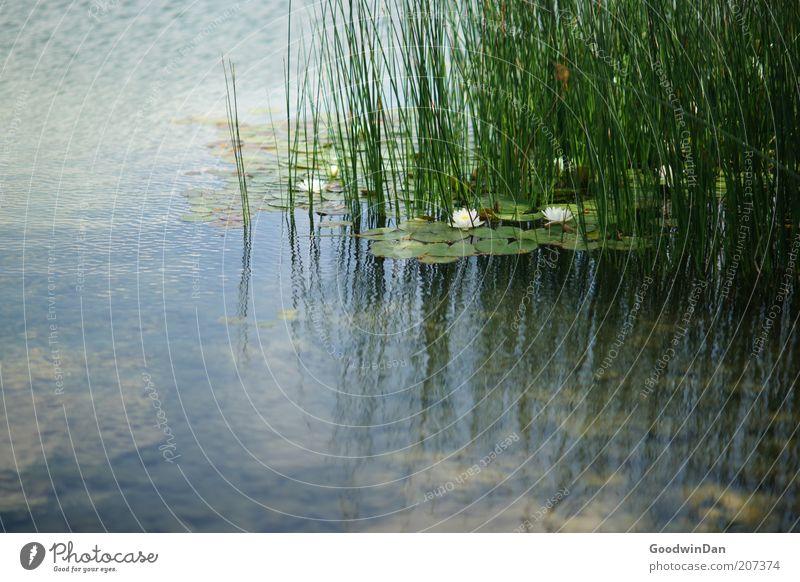 Ich hab noch beide Ohren... Natur Wasser schön grün Pflanze Gefühle Gras See Wärme Zufriedenheit Stimmung Umwelt ästhetisch authentisch Wasserpflanze Tiefenschärfe