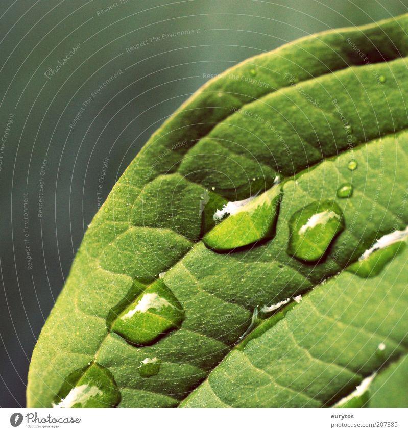 macro Natur grün Pflanze Blatt Leben Regen Wetter Umwelt Wassertropfen Tropfen Sauberkeit Tau exotisch Weisheit Durst Blattadern
