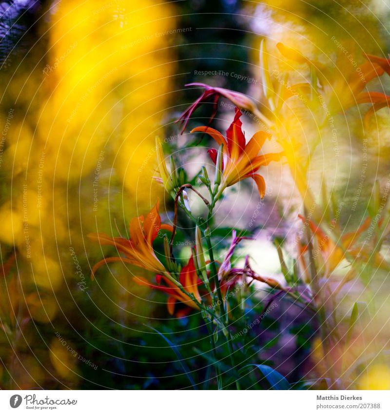 Blüte Natur schön Pflanze rot Sommer Blume Umwelt Blüte rosa ästhetisch frisch Wachstum wild Sträucher außergewöhnlich violett