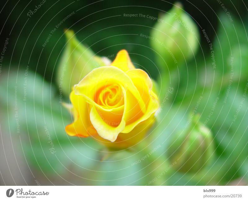 gelbe Schönheit Natur Blume Garten Rose