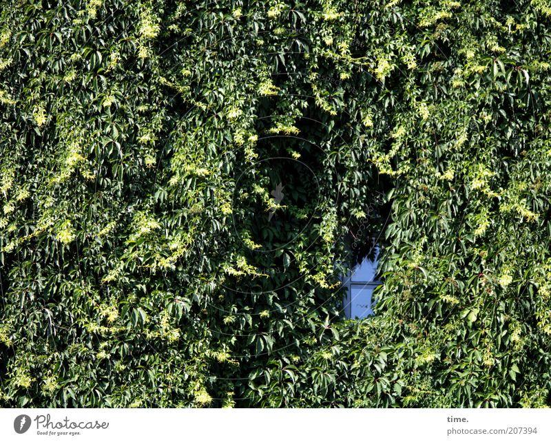 Bio tobt Natur Pflanze Haus Fenster Umwelt Fassade geschlossen Wachstum eng Loch ökologisch Lücke Ranke Efeu üppig (Wuchs) beklemmend