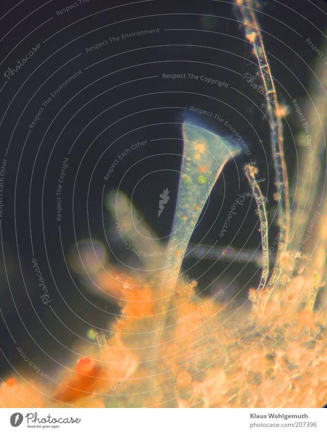 Trompetentierchen im Dunkelfeld unter dem Mikroskop harmonisch Tier 1 Fressen blau mehrfarbig gold schwarz ruhig Mikrobiologie Mikroorganismen ästhetisch