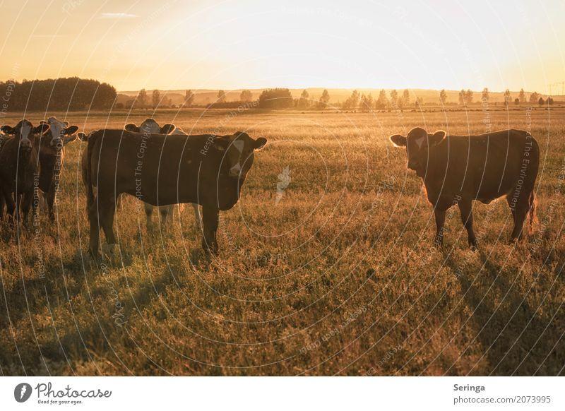 In der Abendsonne Tier Haustier Nutztier Kuh Tiergesicht Fell Tiergruppe Herde Fressen Farbfoto mehrfarbig Außenaufnahme Menschenleer Textfreiraum oben