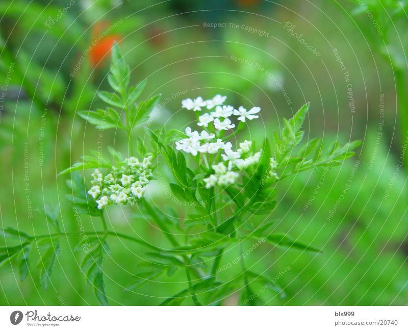 Kräuter in der Blüte Natur Blume Garten Heilpflanzen Kerbel