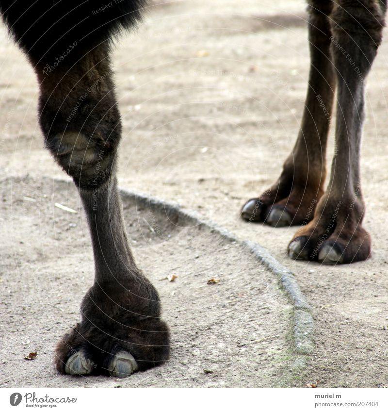 Dreibeiner Tier grau Sand Stein Beine braun Erde Tierfuß stehen Fell Zoo exotisch Pfote standhaft Fährte