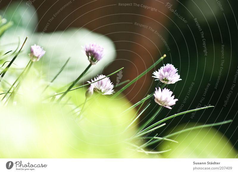 hübsch und lecker Kräuter & Gewürze Ernährung Bioprodukte Natur Feld Blühend Schnittlauch Blüte Pflanze Balkonpflanze mehrfarbig Außenaufnahme Nahaufnahme