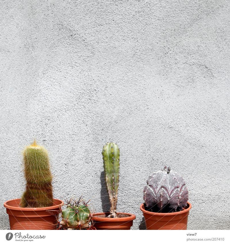 Kakteenzüchter N. Pflanze Kaktus Mauer Wand Fassade alt ästhetisch authentisch dünn einfach nachhaltig schön Blumentopf Farbfoto Außenaufnahme Nahaufnahme