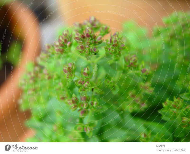 Kräuter2 Majoran Pflanze Makroaufnahme Garten Heilpflanzen