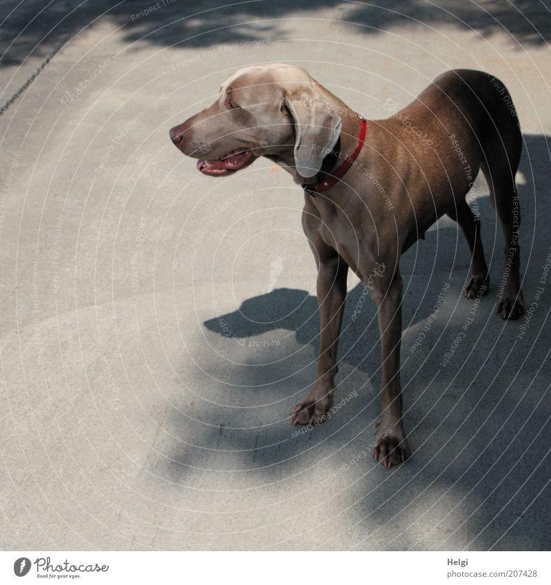 schatten suchen... Sonnenlicht Sommer Schönes Wetter Tier Haustier Hund Weimaraner 1 atmen beobachten Blick stehen warten ästhetisch schön natürlich braun grau
