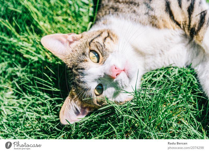 Porträt der netten inländischen Tabby-Katze, die im Gras spielt Natur Sommer Farbe grün weiß Tier Freude Umwelt Wiese lustig Spielen klein Glück Garten