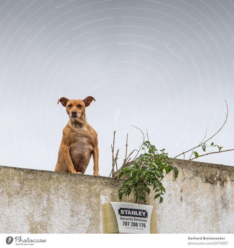 Call Stanley Tier Hund 1 Aggression stark selbstbewußt Kraft Sicherheit Wachsamkeit Hass Konflikt & Streit Galerie Farbfoto Gedeckte Farben Außenaufnahme