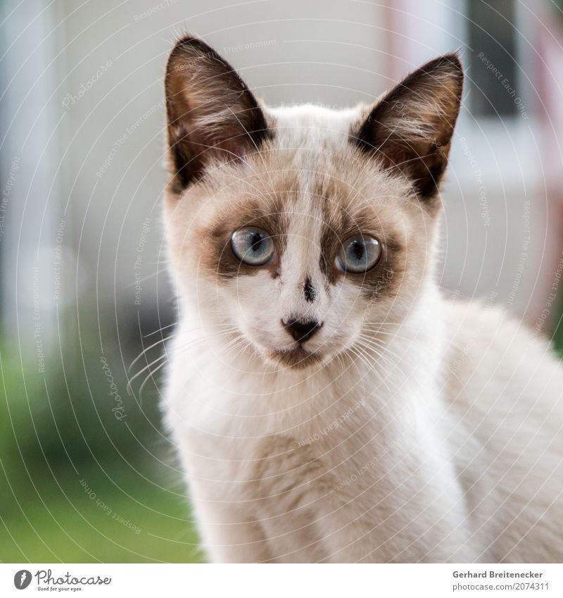 Katze 267 Tier Haustier 1 beobachten Neugier niedlich Tierliebe Farbfoto Tierporträt Blick Blick in die Kamera Blick nach vorn