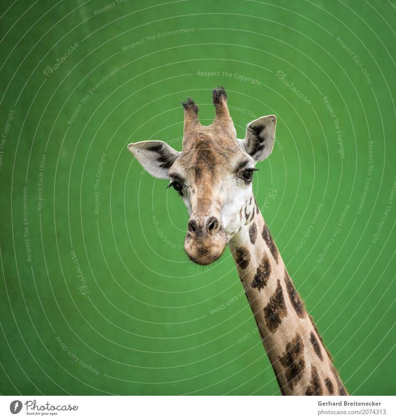 Hohes Tier Wildtier Giraffe 1 frech Wachsamkeit Neugier Höhenangst Gelassenheit Stolz Galerie Farbfoto Außenaufnahme Textfreiraum links Textfreiraum oben