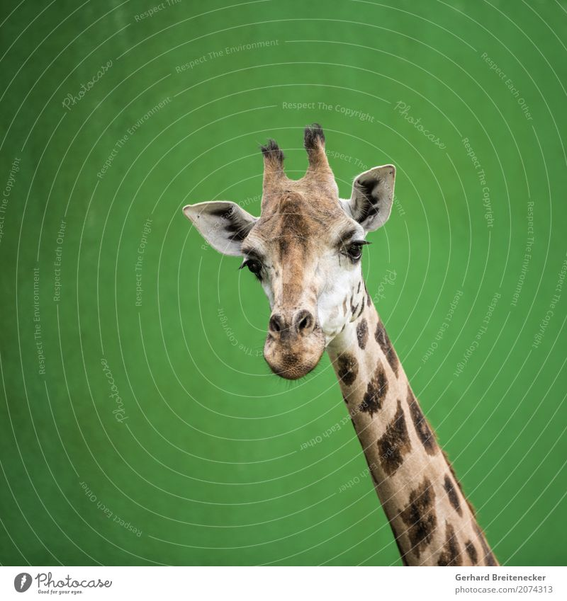 Hohes Tier Wildtier Neugier Höhenangst Gelassenheit Wachsamkeit frech Stolz Giraffe