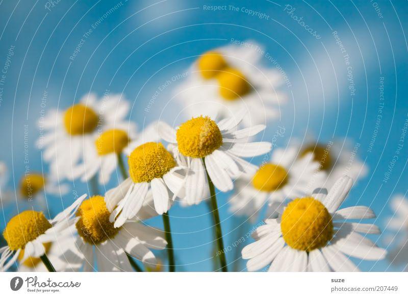 Kamille Natur schön Blume blau Pflanze Sommer gelb Leben Blüte Gesundheit Geruch rein natürlich Kräuter & Gewürze Duft Schönes Wetter