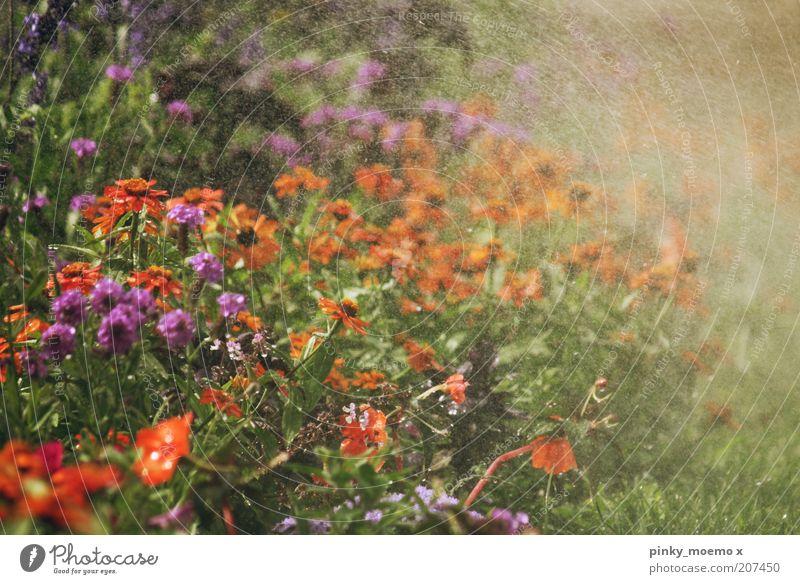 Sommerregen Natur Schönes Wetter Garten heiß kalt Regen Blume mehrfarbig Erfrischung Kühlung Rasensprenger violett orange Außenaufnahme Sonnenlicht Blumenwiese