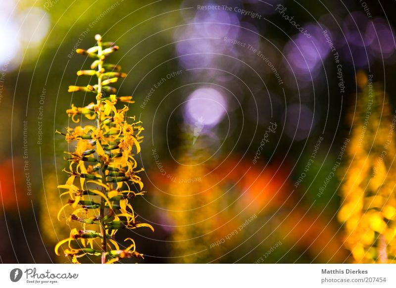 Was ist das bloß? schön Garten Umwelt Natur Blume Sträucher Blüte gelb grün violett rot Botanischer Garten Botanik zart betonie blutweiderich einheimisch