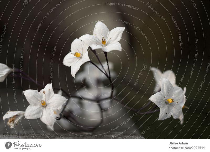 Nachtschatten - Jasmin (Solanum laxum) Natur Pflanze Sommer weiß Blume Erholung ruhig Blüte Stil Garten Design Zufriedenheit Park Dekoration & Verzierung