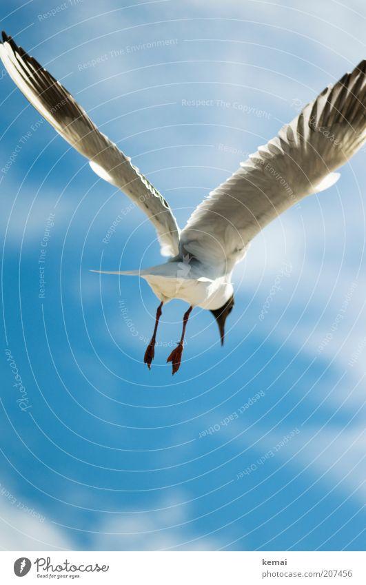Friedens-Möwe Umwelt Natur Himmel Wolken Sonnenlicht Sommer Klima Schönes Wetter Ostsee Meer Tier Wildtier Vogel Flügel Fuß Schnabel Feder 1 fliegen blau weiß