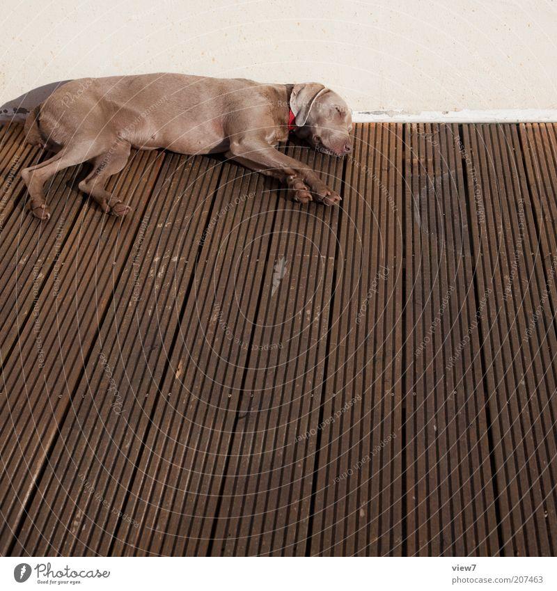 Sonntag Tier Haustier Hund 1 Holz liegen schlafen träumen Häusliches Leben ästhetisch dünn einfach braun Zufriedenheit Tierliebe Langeweile Müdigkeit