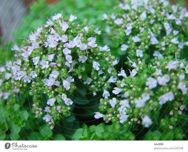 Kräutertopf Natur Garten Heilpflanzen Majoran