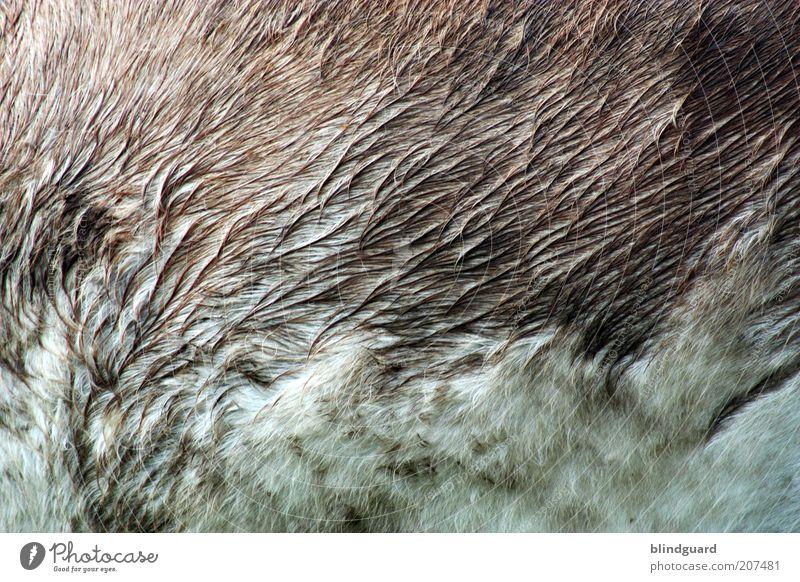 Wet Donkeyhair weiß Tier grau braun nass stehen weich natürlich Fell feucht Haustier Esel Nutztier Zeit Streichelzoo