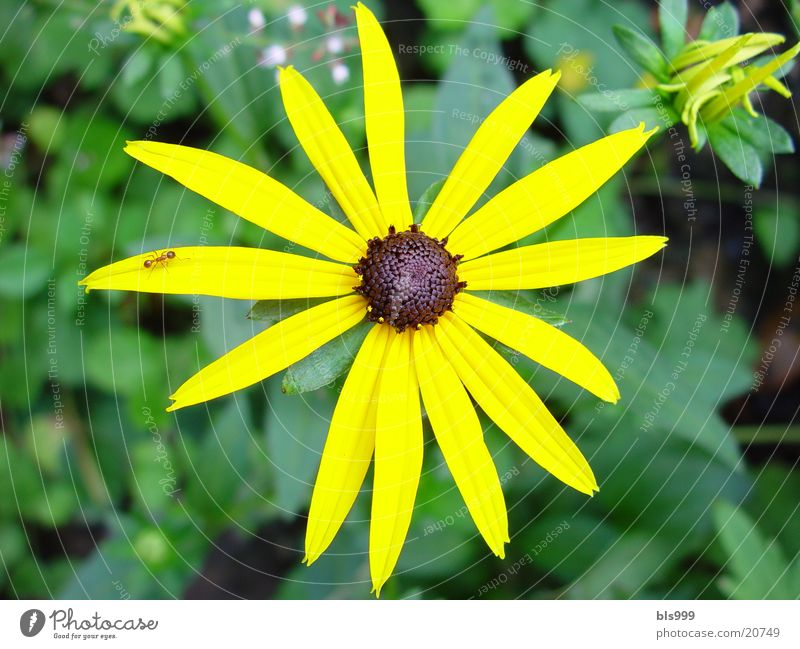 Sonnehut Blume Pflanze gelb Garten Makroaufnahme