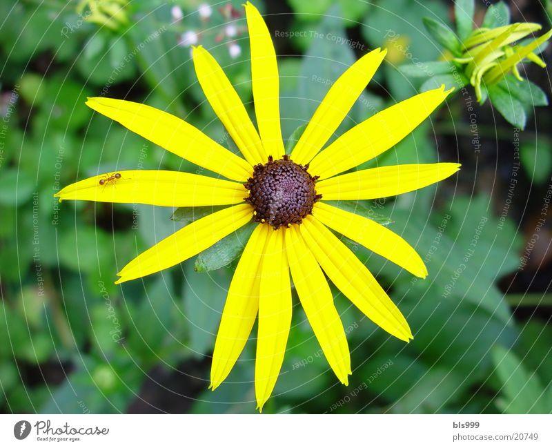 Sonnehut Blume Pflanze gelb Garten