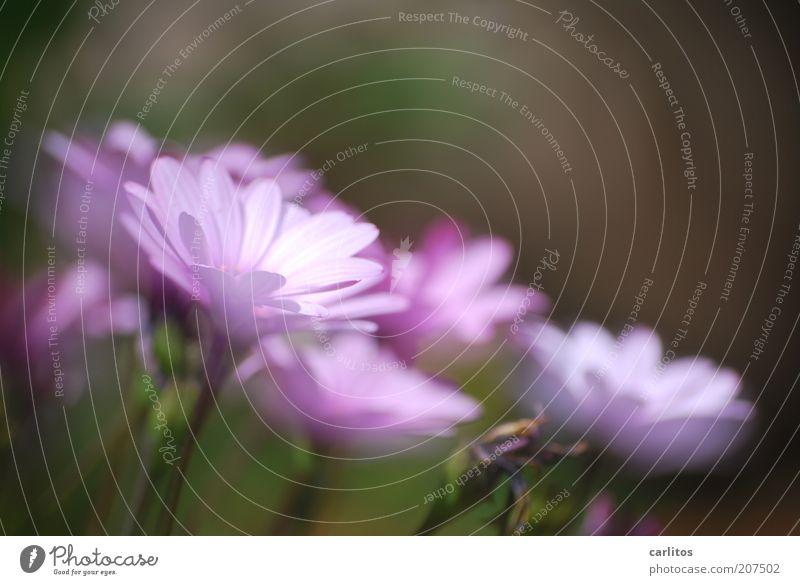 Jasmin Wagner Pflanze Sommer Blume Blühend Duft ästhetisch blau grün Farbe Blüte Blütenblatt violett leuchten Unschärfe Farbfoto mehrfarbig Außenaufnahme