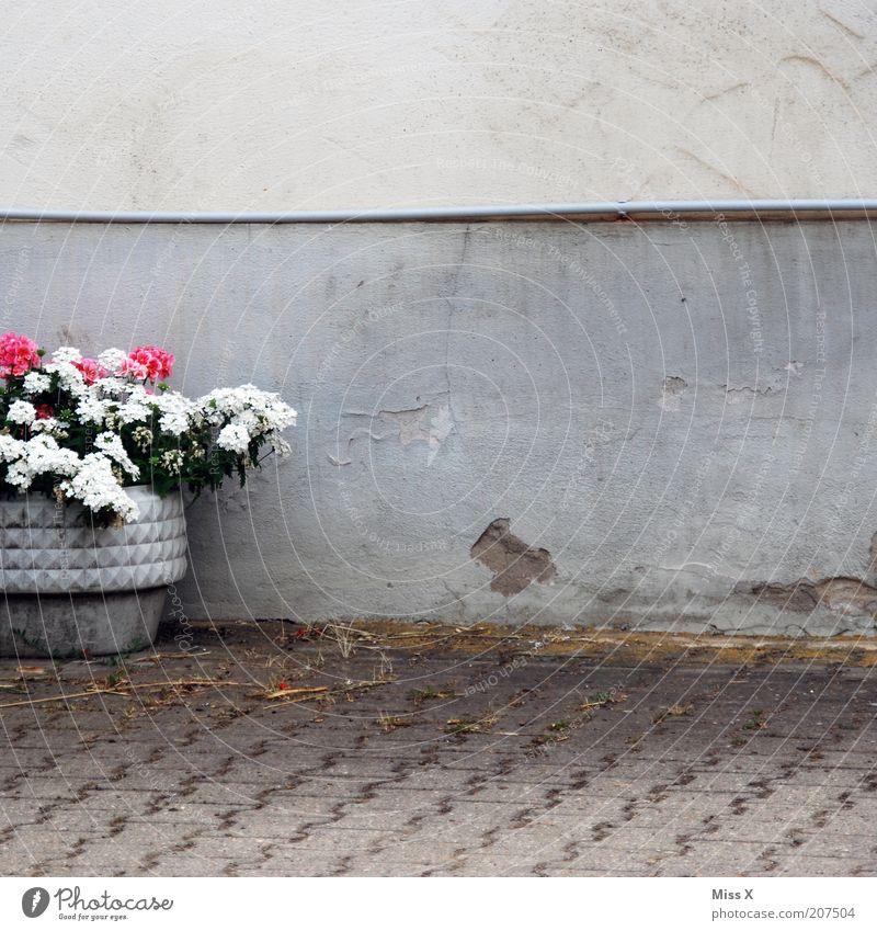Kübel Dekoration & Verzierung Pflanze Blume Blüte Topfpflanze Blühend Wachstum trist Pelargonie Mauer Wand Farbfoto Außenaufnahme Textfreiraum rechts