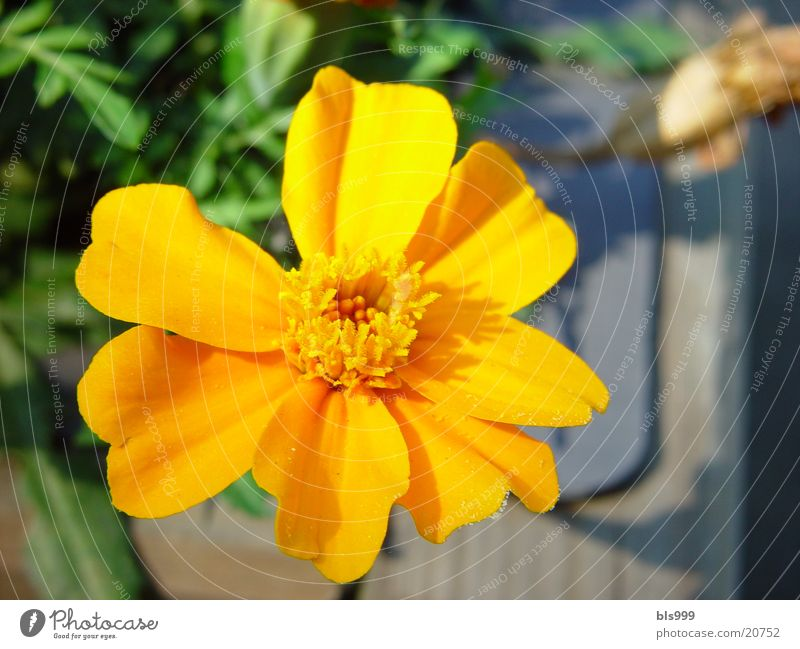 Orange Kraft Blume Sommer orange Garten Pflanze Sonne Natur