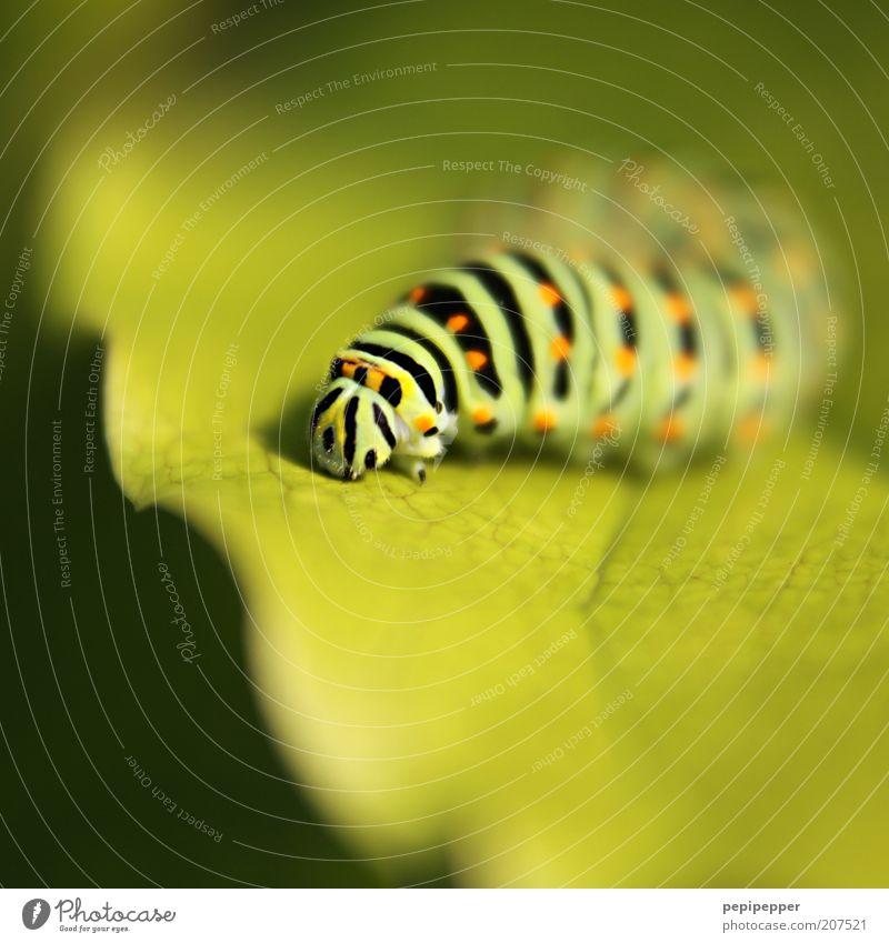 -^^^^^^^^- Natur Pflanze Blatt Grünpflanze Tier 1 Linie dick grün Raupe Farbfoto mehrfarbig Außenaufnahme Makroaufnahme Menschenleer Tag Licht Schatten Kontrast