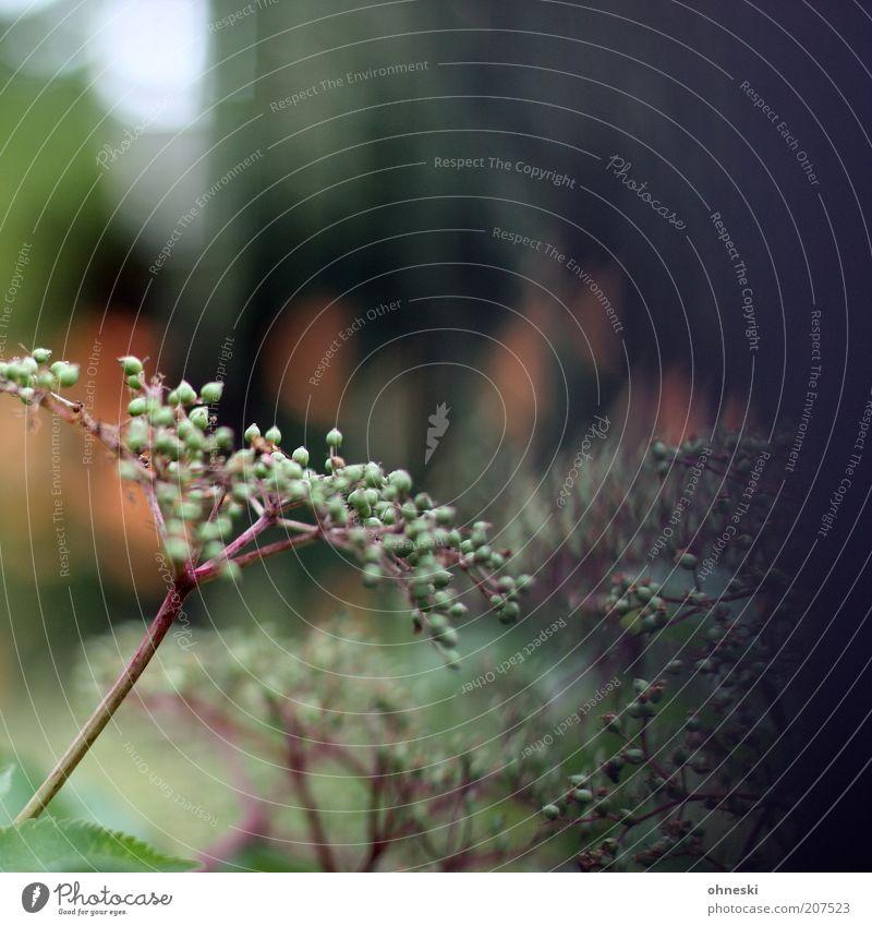 Holunder Natur grün Pflanze Sommer Frucht Holunderbusch Holunderbeeren