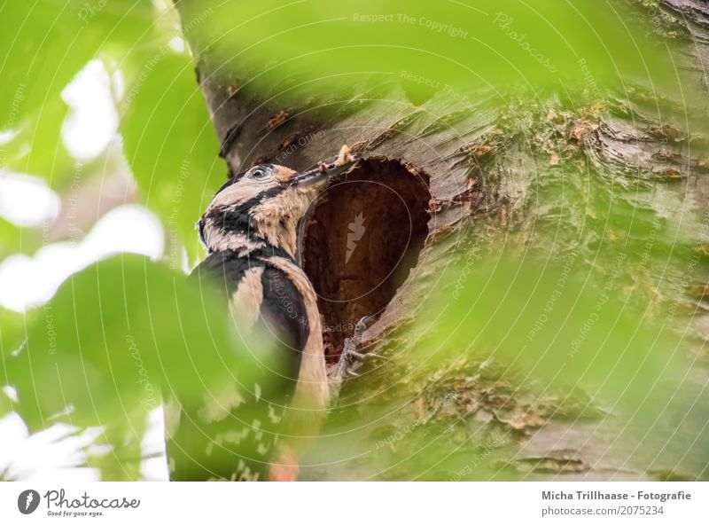 Buntspecht mit Futter an der Nisthöhle Natur Pflanze grün weiß Sonne Baum Blatt Tier schwarz natürlich fliegen Vogel orange Wildtier sitzen Schönes Wetter