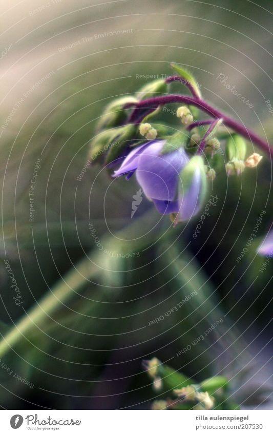 1001 Natur Pflanze Sommer Blume Blüte verblüht natürlich schön violett Farbe Vergänglichkeit Vergißmeinnicht Unschärfe Pflanzenteile Stengel Wiesenblume